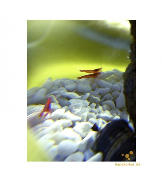 BIOGLOBE Beachworld Gorgonie + Muscheln (Ø 12,5 / 15 / 20 / 25 cm / mundgeblasene - Glaskugel)