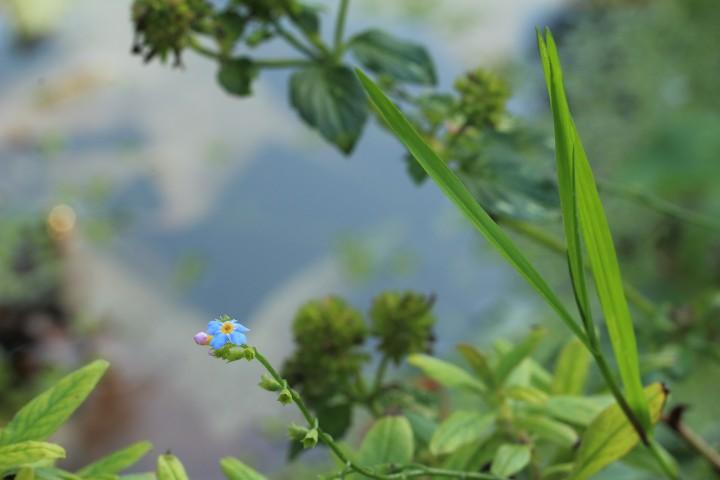 teichpflanzen-hanako-koi