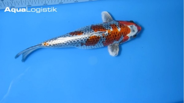 Oofuchi Kujaku 42 cm