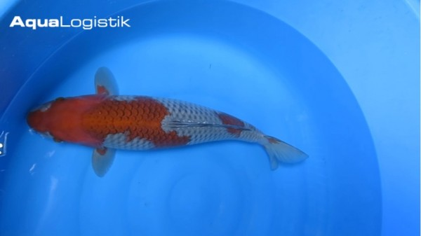Oofuchi Ochiba 52 cm